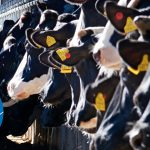 Image of cows being fed as the cover for the article, Genetics in the making of a 4-EVENT COW